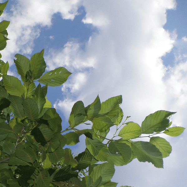 Sky Through The Leaves Square