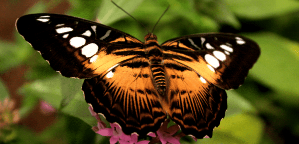 The Clipper Butterfly